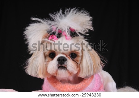 Shih Tzu Dog wearing an orange and pink sweater and bows in her pigtails.