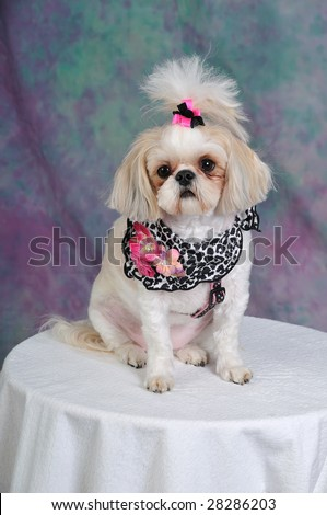 Shih  Hair Styles on Stock Photo   Shih Tzu Dog With A Short Summer Haircut And Bows In Her