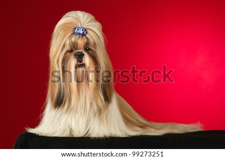 Shih Tzu dog with blue hairpin. Shot full face in studio on wine red background