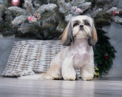 Shih Tzu dog with short hair after grooming front view.