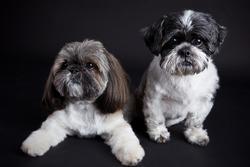 Shih tzu dogs on black background