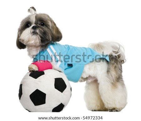 Shih Tzu, 18 months, dressed with soccer ball, in front of white background