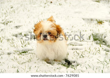 Shih Tzu Playing In The Snow - A cute 4 month old Shih Tzu puppy in the snow with ice on her furry face and her tongue sticking out.