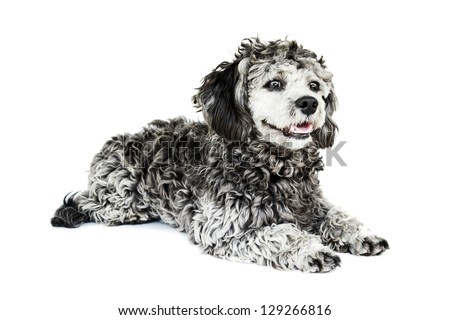 Shih tzu poodle mixed laying on white background