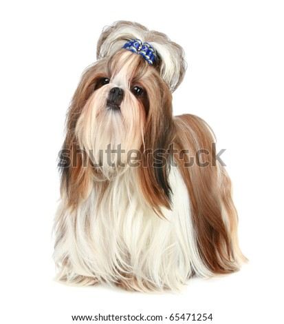 Shih tzu poses on a white background