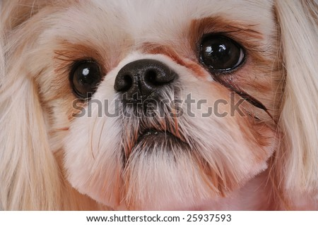 Shih Tzu Puppy - close-up shot of her big round eyes.  Shallow depth of field, eyes are in focus. - stock photo