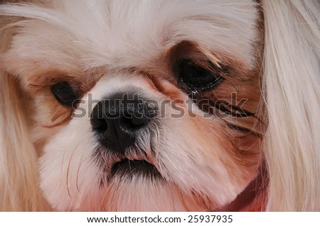 Shih Tzu Puppy - close-up shot of her nose and eyes and expressive little face.