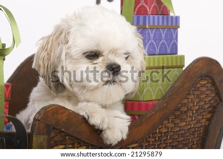 Shih tzu puppy in a wooden Christmas sleigh with presents surrounding him