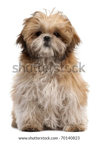 Shih-tzu puppy, 6 months old, sitting in front of white background