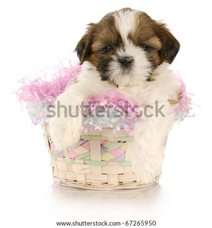 shih tzu puppy sitting in easter basket with reflection on white background