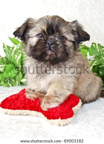 Shih-Tzu puppy with red dog toy.