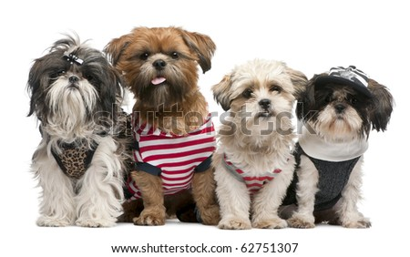 Shih Tzu's, 2 years old, 18 months old and 8 months old, dressed up and sitting in front of white background - stock photo