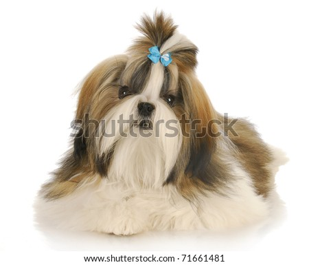 shih tzu wearing blue bow in hair laying with reflection on white background