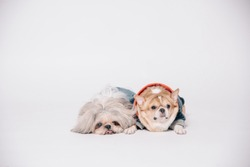 Shihtzu and Chihuahua dogs are portrait in the studio on white background.