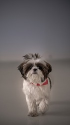 ShihTzu Dogs are Loving Breeds