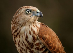 Shikra Accipiter badius is a small bird of prey in the family Accipitridae. It is found widely distributed in Asia and Africa. It is also called the little banded goshawk.