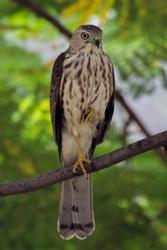 Shikra - Surajpur Bird Sanctuary - Shikra (Accipiter badius badius) bird sitting in tree branch with one leg