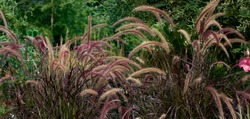 Shimmery ornamental purple fountain grass are the focal point in sunny summer prairie garden