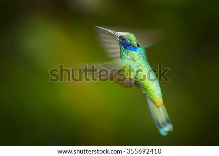 Shining blue and grass green Colibri coruscans, Sparkling Violet-ear medium size hummingbird in side view hovering. Dark green blurred background. #355692410
