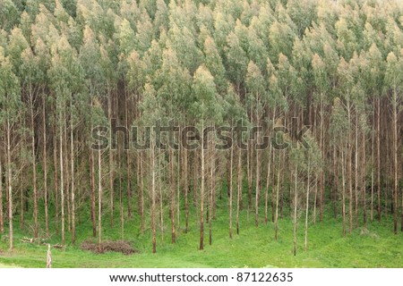 Shining gum plantation (Eucalyptus nitens) for logging.
