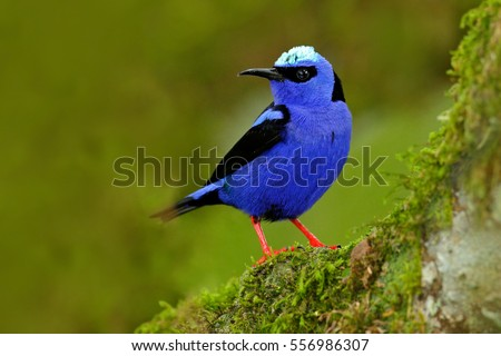 Shining Honeycreeper, Cyanerpes lucidus, exotic tropical blue bird with yellow legs from Costa Rica. Blue songbird in the nature habitat. Tanager from South America.