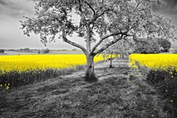 Shining yellow oilseed rape fields in a black and white landscape with blossoming apple trees