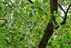 Shiny evergreen leaves of False Camphor tree (Cinnamomum glanduliferum) or Nepal camphor tree in spring Arboretum Park Southern Cultures in Sirius (Adler) Sochi. Beautiful nature for any design