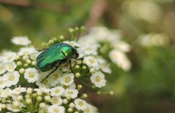 Shiny green beatle called Cetonia aurata, rose chafer or the green rose chafer walking on the bush with a little white blooms.