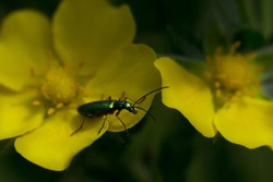 Shiny green beetle. Beetle sits on a yellow flower. Dark green background. The main focus on the bug.