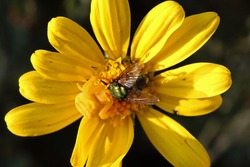 SHINY GREEN BOTTLE FLY IN THE GRIP OF A YELLOW CRAB SPIDER ON A YELLOW DAISY