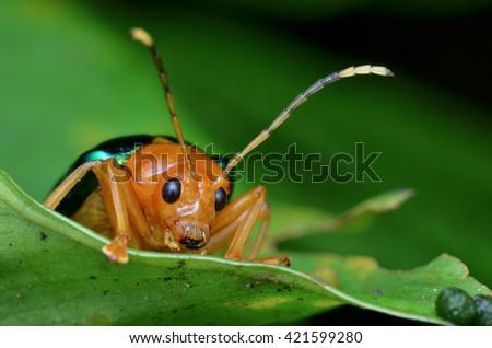 shiny leaf beetle #421599280