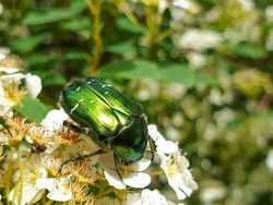 Shiny metallic green and gold colors of European rose chafer (Cetonia aurata) or green rose chafer insect on plant in garden pollinating vegetation, in summer
