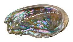 Shiny mother-of-pearl inside abalone of sea snail isolated on white background. Haliotis. Seashell of marine gastropod mollusk. Respiratory pores in pastel iridescent nacre of ear shell inner surface.