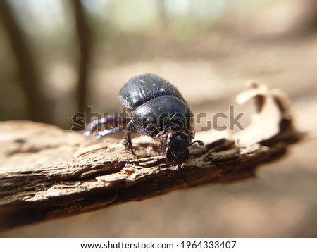 Shiny, purple Woodland Dor Beetle (Anoplotrupes stercorosus) on a piece of bark in the woods. Macro close-up. Stockfoto ©