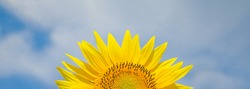 Shiny sunflower in blue bright vibrance sky background on sunny day in summer.