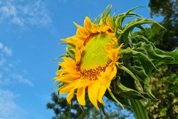 Shiny yellow sunflower against blue bright vibrance sky background