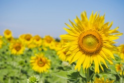Shiny yellow sunflower in the abundance plantation field against blue bright vibrance sky background on sunny day in summer