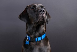 Shiny young black labrador wearing blue collar, looking away on black background