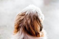 Shitsu dog portrait back face view blur  background.