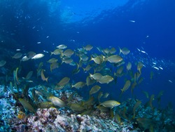 Shoal, Mediterranean fishes swim to look for some seaweed to eat.