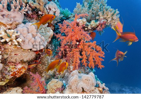 Shoal of anhthias fish on the soft coral reef