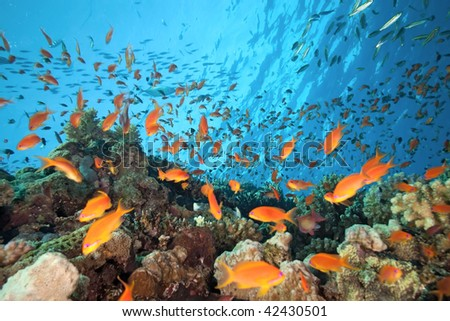 Shoal of anthial fish on the coral reef