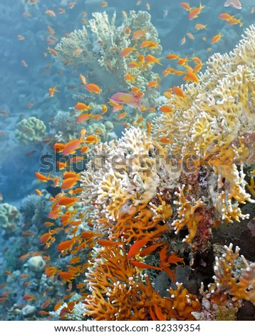 Shoal of anthias fish on the fire coral