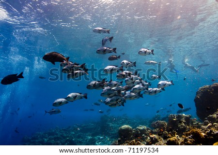 Shoal of black snapper (Macolor niger) swimming along a coral reef. Taken in Sipidan, Borneo, Malaysia.