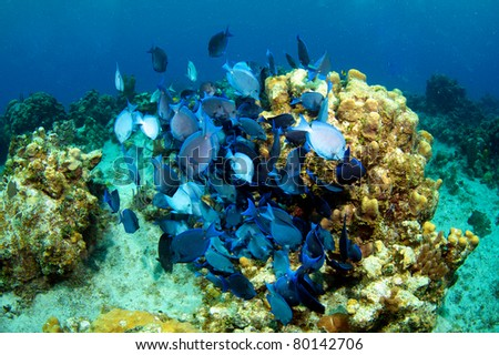 Shoal of Blue Tang's on the Reef