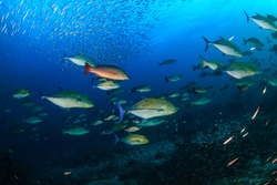 Shoal of Bluefin Trevally and Snapper hunting on a tropical coral reef.