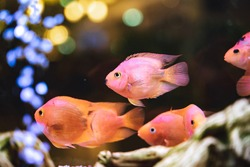 Shoal of bright pink tropical fish swimming in an indoor aquarium with a bokeh of bright lights and streaming air bubbles