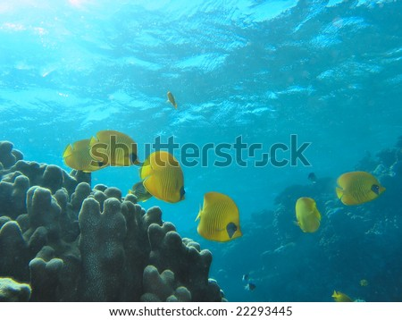 Shoal of Butterfly Fish