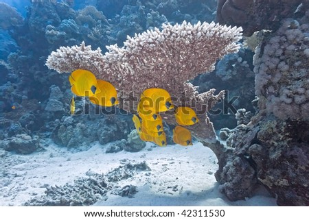 Shoal of butterfly fish under table coral