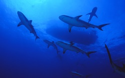 shoal of caribbean reef sharks